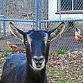 Goat And Chickens by Ellen Stockdale Wolfe