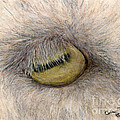 Goat Eye Farm Ranch Animal Art Cathy Peek by Cathy Peek