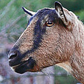 Goat In Profile by Ellen Stockdale Wolfe