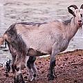 Goat by Jouko Lehto