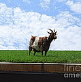 Goat On A Sod Roof In Sister Bay In Wisconsin by Catherine Sherman