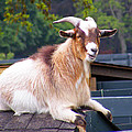 Goat On The Roof by Duane McCullough