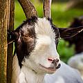 Goat Portrait by Pati Photography