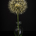 Goat's Beard In Vase by Mitch Shindelbower