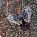 Gobbler In Flight by Nathan Harker