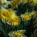 Gold Daffodil by Catherine Lau