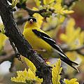 Gold Finch Gold Leaves by Trent Mallett
