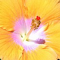 Gold Hibiscus by Mary Deal