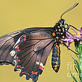 Gold Rim Swallowtail Butterfly by Millard H. Sharp