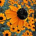 Gold Rudbeckia Blooms by MTBobbins Photography
