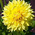Gold Waterlily Dahlia by Thomas J Rhodes