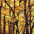 Golden Aspen Crowns by Gerry Bates