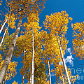 Golden Aspen Stand by Alex Cassels