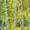 Golden Aspens by Barbara Jewell