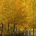 Golden Aspens by Don Schwartz