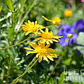Golden Aster by Carol  Bradley