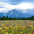 Golden Asters And Tetons From The Road In Grand Teton National Park-wyoming by Ruth Hager