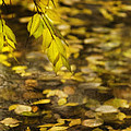 Golden Autumn Colour Foliage On Rainy Pond by Peter v Quenter