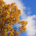Golden Autumn Leaves And Blue Sky by Smilin Eyes  Treasures