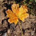 Golden Autumn Maple Leaf Filtered by Conni Schaftenaar
