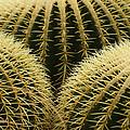 golden barrel cactus Mexico by Rudi Prott
