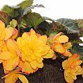 Golden Beauty by Sylvia Thornton