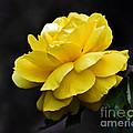 Golden Beauty by Ursula Gill