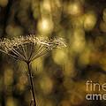 Golden by Belinda Greb