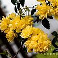 Golden Blooms One by Ken Frischkorn