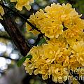 Golden Blooms Two by Ken Frischkorn