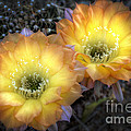 Golden Cactus Flowers  by Saija  Lehtonen