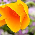 Golden California Poppy by Chris Berry