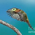 Golden-collared Toucanet by Anthony Mercieca