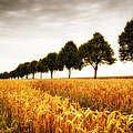 Golden Cornfield And Row Of Trees by Matthias Hauser