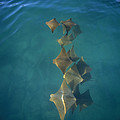 Golden Cownose Rays Schooling Galapagos by Tui De Roy