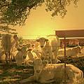 Golden Cows by Nina Fosdick