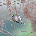 Golden Crowned Kinglet and Oceanspray