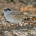 Golden-crowned Sparrow by Anthony Mercieca
