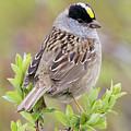 Golden-crowned Sparrow by Ken Archer