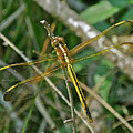 Golden Dragonfly At Rest by Mother Nature