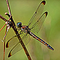 Golden Dragonfly by Linda Brown