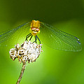 Golden Dragonfly On Perch by Crystal Heitzman Renskers