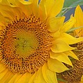 Golden Duo - Sunflowers by Maria Urso