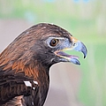 Golden Eagle 7595 by Bonfire Photography