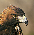 Golden Eagle by Buddy Mays