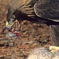 Golden Eagle Eats by Larry Allan