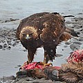 Golden Eagle On An Elk Carcass by Kevin Spriggs