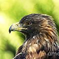 Golden Eagle Portrait by Sylvie Bouchard