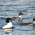 Golden-eyed Ducks by Cheryl Baxter