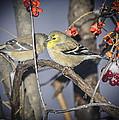 Golden Finch Cold Shoulder by LeeAnn McLaneGoetz McLaneGoetzStudioLLCcom
